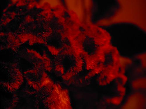 【写真】ドライフラワーをトイデジ izone 550で印象的な赤色に撮影