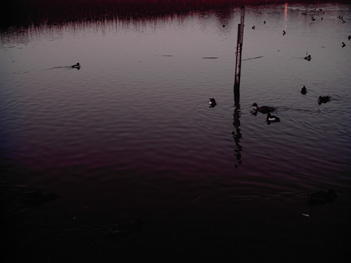 【画像】上野恩賜公園、不忍池で泳ぐカモ?をポラデジ izone 550で撮影2