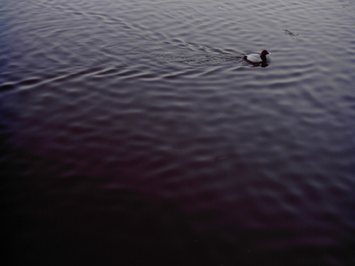 【画像】上野恩賜公園、不忍池で泳ぐカモ?をポラデジ izone 550で撮影